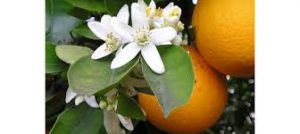 Oranges with their beautiful flowers!